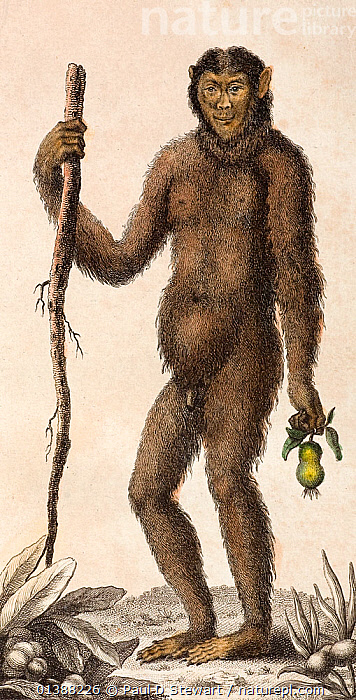 Illustration of male Orangutan (Pongo pygmaeus). 1795 'The Orang Outang, or Wild Man of the Woods' (sic). J. Frid Gmelin and Carl Linnaeus (posthumous). 'A Genuine and Universal System of Natural History comprising the three Kingdoms of Animals, Vegetables and Minerals. Arranged under their respective Classes, Orders, Genera and Species'. Published in London, 1794, 1810. Linnaeus wrote to Gmelin in 1747 'It is not pleasing that I placed humans among the primates, but man knows himself', 'if I called man an ape or vice versa I would bring together all the theologians against me. Perhaps I ought to scientifically'. Images like this, that emphasised the human qualities of apes - or wild men of the woods - were common from the 16th Century up to the early 19th Century.  ,  16TH CENTURY,18TH CENTURY,19TH CENTURY,ANCESTOR,ANTHROPOID,ANTHROPOMORPHIC,APE,DESCENT,HISTORIC,HISTORICAL,HISTORY,HOMINID,HUMAN,ILLUSTRATIONS,LINAEUS,LINNAEUS,ORANG,ORANGUTAN,OURANG,OUTANG,PENDEK,PONGO,PYGMAEUS,RELIGION,SCIENCE,TAXONOMY,VERTICAL,WILD  ,  Paul D Stewart