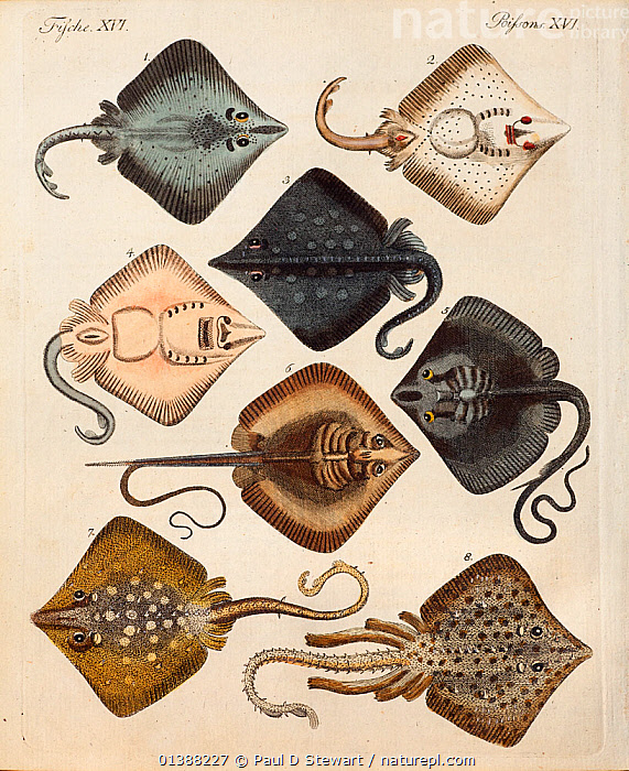Copperplate engraving of rays with contemporary hand colouring from 'Bilderbuch fur Kinder' by F.J. Bertuch, Weimar, 1795. This book set out to explain and illustrate a range of topics for children.  ,  19TH CENTURY,ART,CHONDRICHTHYES,COLOUR,DIVERSITY,FISH,GERMANY,ILLUSTRATION,ILLUSTRATIONS,KINDER,MARINE,PRETTY,RAYS,STINGRAY,VERTEBRATES,Europe,Catalogue5  ,  Paul D Stewart