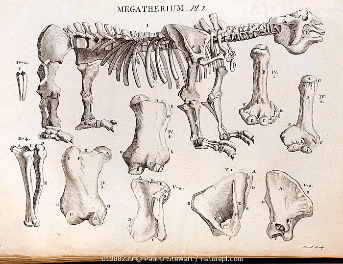 Copperplate illustration of Giant Ground Sloth by Laurilliard, engraving by Couet, (from Bru), Plate 1 in Cuvier's account in 'Annales du Museum National d'Histoire Naturelle' 1804, Vol. 4, No 29. Cuvier's reputation with fossils began with this animal to which he gave the latin name Megatherium americanum (Big American Mammal). The creature had been found in Argentina near Buenos Aires in 1787 (Darwin would make similar discoveries on the Beagle) and was sent to Madrid. It was mounted by Juan Bautista Bru and put on display. Cuvier wrote his description secondhand from drawings and a description sent by Bru. Cuvier realised it bore a resemblance to the much smaller tree sloth. He proposed Megatherium was a giant ground sloth. As such a big animal would have been seen if it were alive, Cuvier suggested must be extinct. Until that time most fossils were assumed to be of creatures still alive somewhere on the globe.  ,  19TH CENTURY,AMERICAN,BRU,CHARLES DARWIN,CUVIER,EXTINCT,EXTINCTION,FOSSILS,GIANT,GROUND,HISTORIC,HISTORICAL,HISTORY,ILLUSTRATIONS,MEGAFAUNA,MEGALONYX,MEGATHERIUM,PALAEONTOLOGY,PALEONTOLOGY,PLEISTOCENE,SLOTH,SOUTH  ,  Paul D Stewart