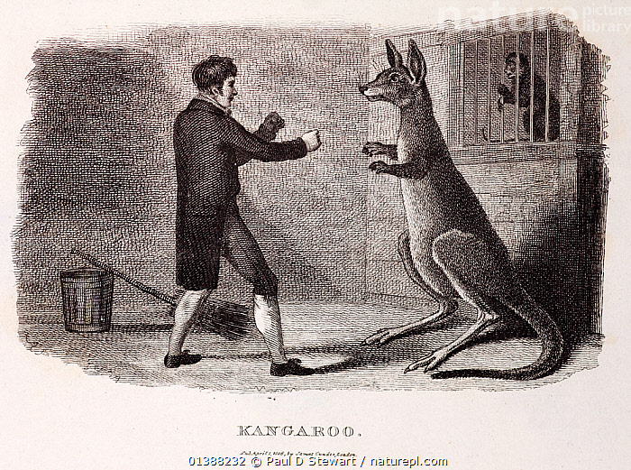 1806 'Kangaroo' (Macropus giganteus), a copper engraving of a keeper attempting to box a kangaroo. First image of a boxing kangaroo, now an australian national icon. From Thomas Smith, 'The Naturalist's Cabinet: Containing Interesting Sketches of Animal History' published by James Cundee. One of two kangaroos originating from Port Jackson (Sydney harbor) kept at Exeter Exchange in London. Amongst the first living specimens to be seen in Britian (kangaroos were 'discovered' by Cook in 1771, and did not arrive in the UK until 20 years later). Smith writes here 'I saw this noble quadruped wrestle with the keeper for the space of ten or fifteen minutes, during which time he evinced the utmost intrepidity and sagicity: turning in every direction to face his opponent, carefully watching an opportunity to close with him, and occasionally grasping him with fore paws, while the right leg was employed kicking him'.  ,  19TH CENTURY,AGGRESSION,ANIMAL,AUSTRALIAN,BOXING ,COMBAT,ETHICS,FIGHT,FIGHTING,ILLUSTRATIONS,KANGAROO,KANGAROOS,KEEPER,MACROPODIDAE,MAMMALS,MARSUPIALS,RITUAL,VERTEBRATES,ZOO  ,  Paul D Stewart