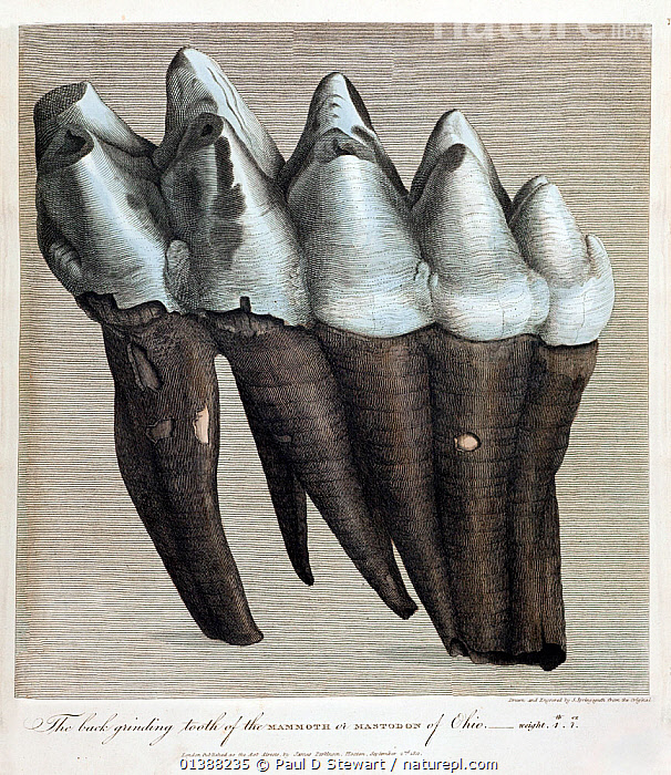 Illustration of American Mastodon (Mammut americanum) tooth. 'The back grinding tooth of the mammoth or Mastodon of Ohio, weight 4lb and 11oz, drawn and engraved by Springsguth from life'. Forming the copperplate hand-tinted frontispiece to Vol 3 of James Parkinson's ' Organic Remains of a Former World'. As D.K. Grayson notes, this was the first book on vertebrate palaeontology in English after Cuvier's demonstration of the reality of extinction. It began the process of absorbing a continental approach to life history into British Natural theology. The book, and its many lavish illustrations, served to inspire aspiring young palaeontologist such as Gideon Mantell and Richard Owen. Their discoveries would in turn revolutionise the science. James Parkinson (1755-1824) was a founder member of the geological society and also the medic who described the degenerative condition that bears his name.  ,  19TH CENTURY,BRITISH,CUVIER,ENGLISH,EXTICT,EXTINCTION,FOSSILS,GEOLOGICAL,GIDEON,HISTORIC,HISTORICAL,HISTORY,ILLUSTRATION,ILLUSTRATIONS,JAMES,LONDON,MAMMOTH,MANTELL,MASTODON,OHIO,PALAEONTOLOGY,PALEONTOLOGY,PARKINSON,SOCIETY,TEETH,TOOTH  ,  Paul D Stewart