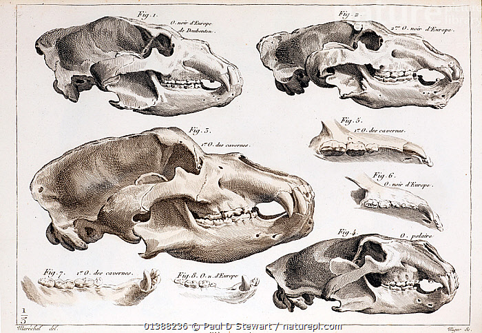 Illustration of bear skulls of living and extinct species, engraving in Cuvier's 'Ossamens Fossiles' (1812). Cuvier, the master of comparative anatomy, referenced modern species with extinct fossils to reveal their affinities and differences. In this section Cuvier examines the modern bear species with reference the extinct Eurasian cave bear Ursus spelaeus.  ,  19TH CENTURY,ANATOMY,BEAR,BEARS,BLACK,BONES,BROWN,CAVE,COMPARATIVE,CRANIA,CRANIUM,CUVIER,DENTITION,EUROPE,EXTINCT,FOSSILS,HISTORIC,HISTORICAL,HISTORY,ILLUSTRATIONS,OMNIVORE,OSSAMENS,PALAEONTOLOGY,SKULL,SKULLS,SPAELEUS,SPELAEUS,URSUS  ,  Paul D Stewart