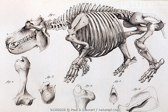 Illustration of skeleton of a hippopotamus, (Hippopotamus amphibius) skelton, copperplate engraving from Cuvier's 'Ossamens Fossiles'. Cuvier saw that the key to understanding fossils was to relate their bones to animals currently known. In this he was the father of comparative anatomy - a field that was to be crucial to the founding of modern biology. Here a hippo provides reference for the even larger bones of the extinct megafauna that was lately being discovered in the environs of Paris and elsewhere. Cuvier actually mistook some of the first iguanodon bone material discovered by Gideon Mantell (and shown to him by Chrles Lyell) for that of a hippo, but he later changed his mind and gave Mantell credit for the discovery.  ,  19TH CENTURY,ANATOMY,ARTIODACTYLA,COMPARATIVE,CUVIER,FAUNA,FOSSILS,HERBIVORE,HIPPO,HIPPOPOTAMIDAE,HIPPOPOTAMUS,HIPPOPOTAMUSES,IGUANODON,ILLUSTRATIONS,MAMMALS,MANTELL,MEGA,MISTAKE,SKELETON,SKELETONS,VERTEBRATES,VULNERABLE  ,  Paul D Stewart