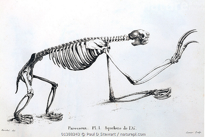 Three toed sloth (Bradypus tridactylus). Skeleton of a three toed sloth, or 'Ai', copperplate engraving from Cuvier's 'Ossamens Fossiles' 1812. Cuvier saw that the key to understanding fossils was to relate their bones to animals currently known. In this he was the father of comparative anatomy - a field that was to be crucial to the founding of modern biology. Here a modern sloth provides reference for the even larger bones of the extinct ground sloth megatherium that had been discovered in South America and displayed in Spain. Cuvier was among the first to clarify the reality of extinction.  ,  19TH CENTURY,AI,ANATOMY,BRADYPODIDAE,COMPARATIVE,CUVIER,EDENTATES,FAUNA,FOSSILS,GIANT,GROUND,HERBIVORE,HIPPO,HIPPOPOTAMUS,IGUANODON,ILLUSTRATIONS,MAMMALS,MANTELL,MEGA,MEGATHERIUM,MISTAKE,SKELETON,SLOTH,SLOTHS,VERTEBRATES  ,  Paul D Stewart