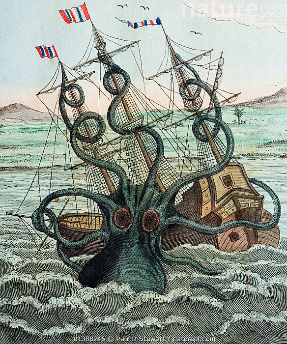 Illustration of Giant Octopus (Octopus dofleini) attacking a ship, 1815 copperplate engraving from Bertuch's 'Bilderbuch fur kinder' 16 plate 5. with contemporary colour. 'Colosal Polypus' (octopus) attacking a ship. A copy of Pierre de Montfort's engraving in Histoire Naturelle des Mollusques' 1810. The plate was meant to represent a true living animal - all be it rather sensationally. The text to this picture notes 'A ship from St. Malo did but expect the moment of her departure from the coast of Angola where she made her trade, t'is to say her traffic with Negros, ivory and gold dust, when at broad daylight- the wind being still, she was ready to sink in the port. A monstrous polypus rising from the flood, fell upon the ship, and compassing about - with it's arms as long and pliant as horrible - her tacklings, and mast to the very top, would draw her down to the abyss', 'all mariners had much ado to cut off the arms of that dreadful beast'.  ,  19th-century, attack, beast, cephalopod, CEPHALOPODS, creature, Fantastic, Giant, ILLUSTRATIONS, INVERTEBRATES, MARINE, Mollusc, MOLLUSCS, monster, montfort, myth, mythical, OCTOPUS, polypus, sea, SQUID,Catalogue5  ,  Paul D Stewart