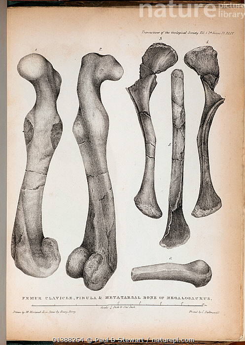 Illustrations of of Megalosaurus' femur, clavicle, fibula and metatarsals drawn by Mary Moreland, 1824, from William Buckland's 'Notice on the Megalosaurus or great Fossil Lizard of Stonesfield'^^^. Transactions of the Geological Society of London, series 2, vol 1: 390 -396. A monumental year in paleontology seeing (in this volume) both Buckland's first scientific description of a dinosaur, Megalosaurus, and Conybeare's first validation of long necked Plesiosaurs and scientific reconstructions of Plesiosaurs and Icthyosaurs. These were some of the very few bones from which Richard Owen would base his reconstruction of Megalosaurus for Waterhouse Hawkins' Crystal Palace reconstructions in 1854.  ,  19TH CENTURY,ANATOMY,BONES,DINOSAUR,DINOSAURS,EXTINCT,FOSSILS,HISTORIC,HISTORICAL,HISTORY,ILLUSTRATIONS,MEGALOSAURUS,SKELETONS,VERTICAL  ,  Paul D Stewart