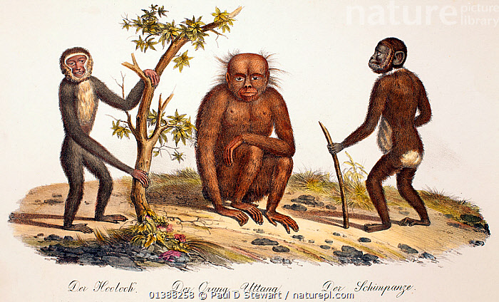 Illustration of gibbon, orangutan and chimpanzee. 1824 contemporary coloured lithograph by Carl Brotdmann of 'Der Orang-Uttang', 'Der Hooloch' and 'Der Shimpanzee' appearing as table 1 in 'Naturhistorische Abbinldungen der Saeugethiere' by Heinrich Rudolph Schinz 1824. Though the Orang utang had been quite accurately drawn since the time of Tulpius (1641), their rarity and resemblance to humans still caused artists confusion well into the nineteenth century. This Chimpanzee is still holding a walking stick as had become the norm in earlier 'wild man of the woods' representations.  ,  19TH CENTURY,ANCESTOR,APE,BROTDMANN,CHIMPANZEE,CRYPTOZOOLOGY,GIBBON,HISTORIC,HISTORICAL,HISTORY,HOMINID,HOMINOIDEA,HOOLOCK,HUMAN,HUMANOID,HUMANOIDS,HYLOBATES,ILLUSTRATIONS,MAN,MIXED SPECIES,MONKEY,ORANG,ORANGUTAN,PAN,PONGO,PRIMATE,PRIMATES,SATYR,SCHINZ,WILD,Mammals  ,  Paul D Stewart