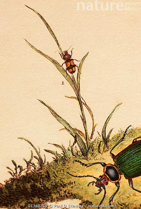 Illustration of Greater Crucifix Beetle (Panagaeus cruxmajor) on a grass stem. From Donovan's 'Natural History of British Insects' (plate by Donovan, volume circa 1806). This rare European ground beetle was a prize for any 19th century collector.  ,  19TH CENTURY,AUTOBIOGRAPHY,BEETLE,CAMBRIDGE,CHARLES DARWIN,CHRIST,CHRISTS,COLLECTING,COLLEGE,CRUX,ENTOMOLOGY,HISTORIC,HISTORICAL,HISTORY,ILLUSTRATIONS,MAJOR,PANAGAEUS,PANAGEUS,RARE,SPECIMEN,UNDERGRADUATE,VERTICAL  ,  Paul D Stewart
