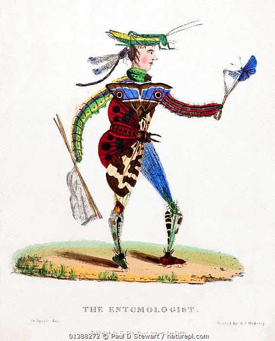 Illustration of 'The Entomologist'. Rare copper print with original hand colouring, drawn by George Spratt, printed by George Madely, and sold individually as part of a series through Charles Tilt's Fleet Street print shop. George Spratt (1784-c.1840) was a memeber of the Royal College of Surgeons but also an artist. He illustrated the two volume 'Flora Medica' (1829). The entomologist is here made-up of the objects of his own fascination. A Garden tiger moth makes up his body, catterpillars his arms, his hat and hair a grasshopper, beetle and damselfly. He carries a 'tong net' to catch a blue butterfly. A small net typical of the time, and of the sort Darwin (a fanatical entomologist) would have been familiar.  ,  19TH CENTURY,BLUE,BUTTERFLY,CHARLES DARWIN,ENTOMOLOGIST,ENTOMOLOGY,GYPSY,HISTORIC,HISTORICAL,HISTORY,HUMOROUS,ILLUSTRATIONS,INSECT,MOTH,NET,PUZZLE,SPRATT,Concepts,Catalogue5  ,  Paul D Stewart
