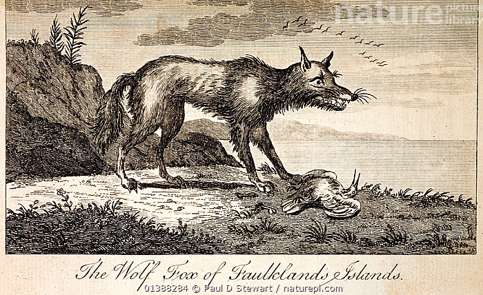 Falklands Wolf (Dusicyon australis). 1778 'The Wolf Fox of Faulklands Islands', a copperplate engraving from Commodore Byron's 'An account of a Voyage Round the World'. The Falkland Islands Wolf, Dusicyon Australis, was the only large predator on the islands. It became extinct in 1879 as Darwin predicted because of its tameness and perceived threat to livestock. Byron arrived within a year of its discovery in 1765 and reports here 'the master reported at his return, that four creatures of great fierceness, resembling wolves, ran up to their bellies in the water to attack the people in his boat' and adds that 'When any of these creatures got sight of our people they ran directly at them, no less than five of them were killed this day'. The species was important to Darwin's thinking on evolution and ecology. In 2009 genetic studies indicated this species had a long and unique South American history.  ,  19TH CENTURY,ANTARCTIC,AUSTRALIS,BEAGLE,BYRON,CANID,CANIS,CHARLES DARWIN,DUSICYON,EXTINCT,EXTINCTION,FALKLAND,FALKLANDS,FITZROY,HISTORIC,HISTORICAL,HISTORY,ILLUSTRATIONS,ISLANDS,MAMMAL,PLEISTOCENE,SOUTH,VOYAGE,WOLF,WOLVES  ,  Paul D Stewart
