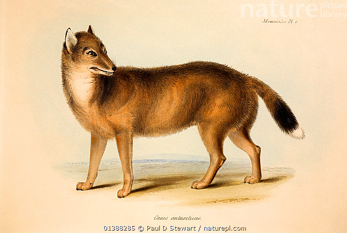 Illustration of the extinct Falkland Island Wolf or Fox (Dusicyon australis). Hand coloured lithograph, Plate IV, The Zoology of the Voyage of H.M.S. Beagle, edited and superintended by Charles Darwin. Part II Mammalia by George Waterhouse (1839). In the text accompanying this image Darwin notes that the population on East and West Falklands appeared to differ - presaging & enforcing the insight into island speciation he had with Galapagos mockingbirds. He was also amazed at its tameness. Ending his section on the species, he wrote the rather melancholy passage to accompany this picture 'it cannot, I think, be doubted, that as these islands are now becoming colonized, before the paper is decayed on which this animal has been figured, it will be ranked amongst those species which have perished from the face of the earth'. It went extinct in 1879. In 2009 genetics elucidated the evolutionary history of this canid.  ,  19TH CENTURY,ANTARCTIC,ANTARCTUS,AUSTRALIS,BEAGLE,BYRON,CANID,CANIS,CHARLES DARWIN,DUSICYON,EXTINCT,EXTINCTION,FALKLAND,FALKLANDS,FITZROY,HISTORIC,HISTORICAL,HISTORY,ILLUSTRATIONS,ISLANDS,MAMMAL,PEST,PLEISTOCENE,VOYAGE,WOLF,WOLVES  ,  Paul D Stewart