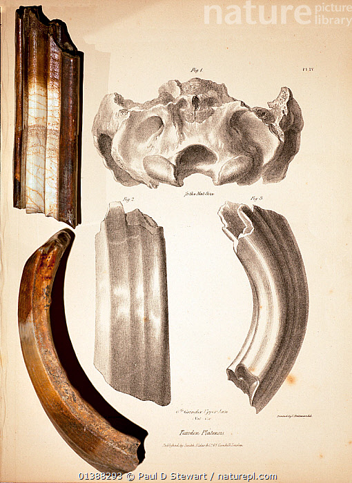 Toxodon platensis fossil teeth together with the illustrations featured in George Sharf's life-sized lithograph (pl. IV) from 'The Zoology of the Voyage of HMS Beagle' under the supervision of Charles Darwin, Part 1, 'Fossil Mammalia' by Richard Owen (1838). Toxodon was one of the many striking extinct giant mammals that Darwin discovered while travelling overland in South America during the Voyage of the Beagle. Toxodon was named by Richard Owen (at that time a friend, but later a bitter enemy) after the curvature evident in the profile of the teeth. Toxodon means 'bow tooth'. Though Toxodon has no living relatives, many of the other fossils Darwin found were related to the animals still living there. Darwin wondered if they were ancestors, and in later years would cite these fossils (and also Galapagos) as 'the origin of all my views'.  ,  19TH CENTURY,BEAGLE,BLANCA,CHARLES DARWIN,DARWINII,FITZROY,FOSSILS,GLYPTODON,GLYPTODONT,HISTORIC,HISTORICAL,HISTORY,ILLUSTRATIONS,MACRAUCHENIA,MAMMAL,MEGAFAUNA,MEGALONYX,MEGATHERIUM,MYLODON,ORIGIN,OWEN,PALEONTOLOGY,PLEISTOCENE,PUNTA,RICHARD,SCELIDOTHERIUM,TOXODON,TOXODONT,VERTICAL  ,  Paul D Stewart