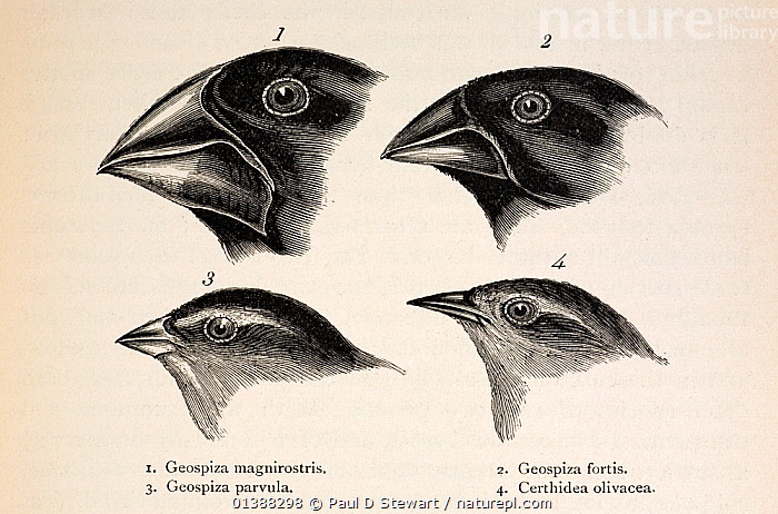 Illustration from page 379, 'Journal of Researches' 2nd Edition 1845 Charles Darwin. The contrasting beaks of four Galapagos finches, three Geospizinae genus and one Certhidea (Warbler finch). Darwin originally misidentified the finches when he collected them on the Galapagos, assuming them to be from very different groups. He also failed to label them well, which he always regretted. Artist/ornithologist John Gould identified them for him and alerted him to them as a new group of 12 closely related species of ground finch (actually members of the Tanager family, Thraupidae). The name 'Darwin's finch' was applied by Percy Lowe in 1936. The finches were famously studied by David Lack in the 1940's and more recently by Peter and Rosemary Grant. The Grants provided the best evidence of evolution within a human time-frame with finches found on Galapagos' Daphne major and minor islands.  ,  19TH CENTURY,BEAGLE,BEAK,BIRDS,CHARLES DARWIN,DARWIN'S,DAVID,EMBERIZIDAE,EVOLUTION,FINCH,FINCHES,FITZROY,GALAPAGOS,GEOSPIZINAE,GOULD,GRANT,GROUPS,ILLUSTRATIONS,JOHN,LACK,MIXED SPECIES,ORIGIN,PETER,SONGBIRDS,SPECIATION,SPECIES,TANAGER,VERTEBRATES  ,  Paul D Stewart