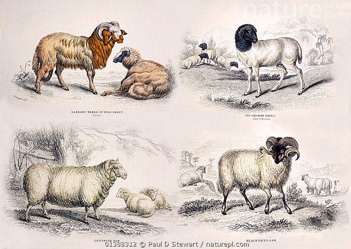 Illustration of four breeds of sheep (Ovis aries) from plates in Jardine's 'The Naturalist's Library' series, specifically 'The Natural History of the Ruminating Animals, Goats, Sheep, Wild and Domestic Cattle &C' published by W.H Lizars 1836. Charles Darwin understood the human selection, that created these various forms of sheep, to be heuristically analogous to the natural selection that changed and originated new species over geological time. The idea formed the opening for his book 'The Origin of Species' (1859) and was further dealt with by his subsequent 'The Variation of Animals and Plants Under Domestication' published by John Murray 1868.  ,  19TH CENTURY,ARIES,ARTIFICIAL SELECTION,ARTIODACTYLA,BOVIDAE,BREEDING,BREEDS,CHARLES DARWIN,DOMESTIC,HISTORIC,HISTORICAL,ILLUSTRATIONS,LIVESTOCK,MAMMALS,MIXED BREEDS,OVIS,OVUS,RUMINANT,SHEEP,VERTEBRATES,Goats,Antelopes  ,  Paul D Stewart