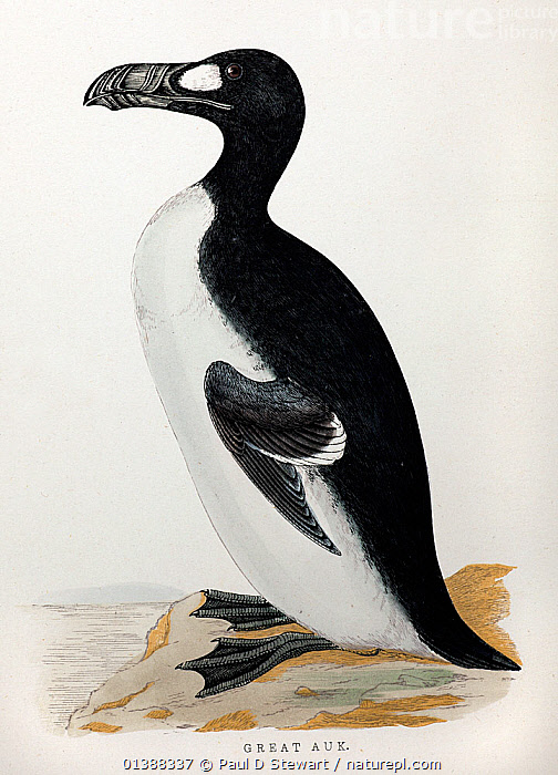 Great Auk (Pinguinus impennis) from the Rev. Francis Orpen Morris' 'A History of British Birds' by the printer Benjamin Fawcett circa 1853. Morris was instrumental in founding the Royal Society for the Protection of Birds. The Great Auk was last sighted in 1852 on the Grand Banks of Newfoundland and became extinct shortly therafter. The Birds were victims of over-hunting for food and bait. Their terminal decline may have even resulted from collecting for museums and taxidermist collections. The birds popular name gave rise to the name Penguin for the physically similar but unrelated penguins of the Antarctic.  ,  19TH CENTURY,ARCTIC,AUK,AUKS,BIRDS,ENGRAVING,EXTINCT,FLIGHTLESS,HISTORICAL,HISTORICAL ILLUSTRATIONS,HISTORY,ILLUSTRATIONS,SEABIRDS,VERTEBRATES,VERTICAL  ,  Paul D Stewart
