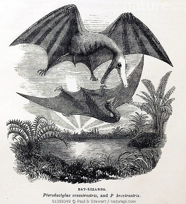 1857 illustration of pterodactyls by Philip Gosse for his book 'Omphalos' (which sought to explain that the world looked older than Creation because it had to be constructed by God with inbuilt history so that it would continue to work seamlessly). One of the mistakes he made in the book, was following E. Newman's earlier suggestion (1843) in 'The Zoologist' that the pterodactyle was actually a form of marsupial bat with lizard like features. Omphalos was not a good book for Gosse's reputation, finding critics on both sides of the science-religion debate. The name 'Omphalos' means navel - referring to the fact that Adam was created with a navel even though he had never been attached to a placenta.  ,  19TH CENTURY,CREATION,CREATIONISM,DINOSAUR,FLYING,HISTORIC,HISTORICAL,HISTORY,ILLUSTRATIONS,PREHISTORIC,PTERODACTYL,PTEROSAUR,RECONSTRUCTION,TWO  ,  Paul D Stewart