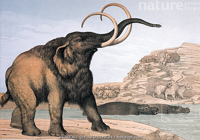 Lithograph with contemporary colouring, continental version of the last wallchart produced by Benjamin Waterhouse Hawkins for the Department of Science and Art 1862. It is entitled 'Pachydermata and Carnivora, that lived during the Post-Tertiary Epoch of the Earth's history'. The animals are numbered 1 Mammoth, Elephas primigenius. 2 Hyaena spelea. 3 Hippopotamus major. 4 Ursus speleus. 5 Machairoides latidens. The last on the list is now Machairodus, a sabre tooth cat named by Kaup 1833. The reconstructions are not far from how we imagine these animals today. The mammoth has a larger shoulder and head hump on the basis of cave drawings (Eduoard Lartet 1865), the cave bear is less like a polar bear (the head is larger in relation to the body) the sabretooth a little more lithe. This reconstruction owes much to the cave discoveries of William Buckland.  ,  19TH CENTURY,HIPPOPOTAMUS,HISTORIC,HISTORICAL,HISTORY,HOLOCENE,HYAENA,HYENA,ILLUSTRATIONS,MAMMOTH,PLEISTOCENE,PREHISTORIC,RECONSTRUCTION,RESTORATION,SABRE TOOTH,SMILODON,WOOLLY,WOOLY MAMMOTH  ,  Paul D Stewart