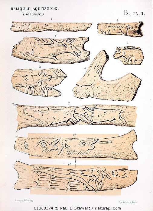 Carvings on reindeer antler and other bone material dated to the end of the last ice age, between 10, 000 to 17, 000 years ago (Magdalenian); plate from Edouard Lartet and Henry Christy 'Reliquiae Aquitanicae' 1865-1875. Williams and Norgate, London, 1875. Found by Edouard Lartet and Henry Christy in the caves of La Madelaine and Les Elyzies in the Dordogne region of France. The caves contained large quantities of portable art which served functional and aesthetic purposes and coincide with the period of cave painting such as that found in Lascaux.  ,  19TH CENTURY,ANTLER,AQUITANICAE,ART,BISON,BONE,CARVING,CARVINGS,CRO,CROMAGNON,HISTORIC,HISTORICAL,HISTORY,HORN,HUMAN,ILLUSTRATIONS,IVORY,MAGNON,MAMMOTH,PALEOLITHIC,PREHISTORIC,REINDEER,RELIQUIAE,STONE AGE,TOOL,VERTICAL  ,  Paul D Stewart