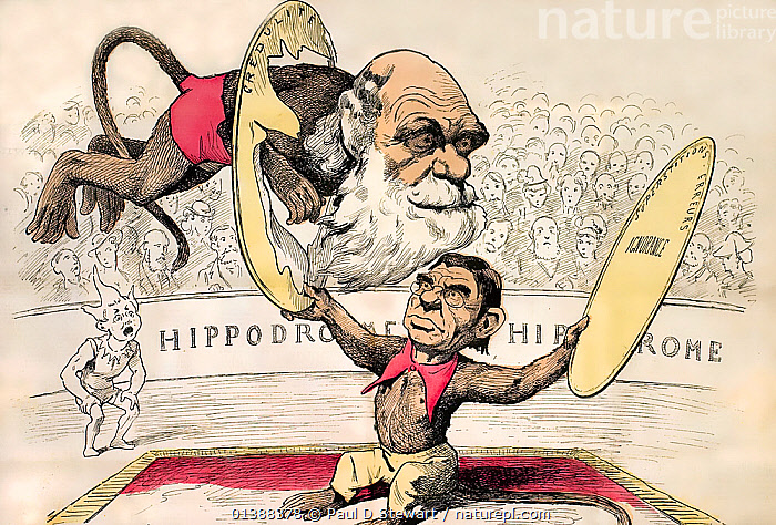 'L'homme descend du singe' cartoon caricature by Andre Gill, 18th August, 1878, La Lune, Paris. Gill shows a monkey with the face of French materialist Emile Littre encouraging a similarly simian Darwin to jump through hoops of 'credulite' and 'superstitions'.  ,  18TH CENTURY,19TH CENTURY,CARICATURE,CARICATURES,CARTOON,CARTOONS,CHARLES DARWIN,DESCENT,EVOLUTION,HISTORIC,HISTORICAL,HISTORY,ILLUSTRATIONS,LUNE,MONKEY  ,  Paul D Stewart