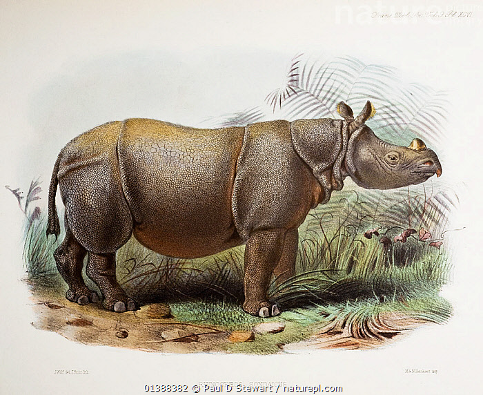 Illustration of Javan Rhinoceros (Rhinoceros sondaicus) in an article by P.L Sclater on the Rhinoceros in captivity in London Zoo (Trans Zool Soc Vol9 Pl. XCVI). Fine contemporary coloured lithograph drawn by J. Wolf, lithographed by J. Smit and printed by M & N Hanhart 1876. The species is currently critically endangered, with only one breeding population and no captive animals. Past attempts to breed in captivity have failed badly. The species has been hunted to the verge of extinction in Indonesia for its single small horn. It is now possibly the rarest large mammal in the world with as few as 40 individuals in existence. It was recognised and described in 1822, the last of the Rhino species to be described by western science.  ,  19TH CENTURY,ENDANGERED,ENGRAVING,ILLUSTRATIONS,INDONESIA,JAVA,MAMMALS,PACHYDERMS,PERISSODACTYL,RHINO,RHINOCEROSES,RHINOS,VERTEBRATES,Asia , rhino, rhinos, rhinoceros, , rhino, Rhinoceros, Rhinos,  ,  Paul D Stewart