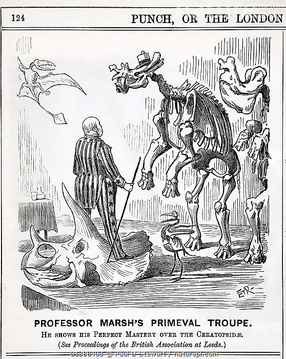 Cartoon from Punch, September 13th 1890 showing Professor Othniel Marsh standing atop a triceratops skull, with some of his famous discoveries before him. Top left Pteranodon (Marsh 1870) the first pterosaur to be discovered outside Europe. Lowest the toothed bird Hesperornis regalis (Marsh 1871), right Brontops robustus (Marsh 1887) left Uintatherium - a species actually described by Joseph Leidy in 1872 and whose identification suffered from the developing 'bone wars' between Marsh and his palaeontological rival Edward Drinker Cope.  ,  19TH CENTURY,CARICATURE,CARTOON,CRETACEOUS,DINOSAUR,DINOSAURS,HESPERORNIS,HISTORIC,HISTORICAL,HISTORY,HUMOROUS,ILLUSTRATIONS,PALAEONTOLOGIST,PALEONTOLOGY,PREHISTORIC,PTERANODON,VERTICAL,Concepts  ,  Paul D Stewart