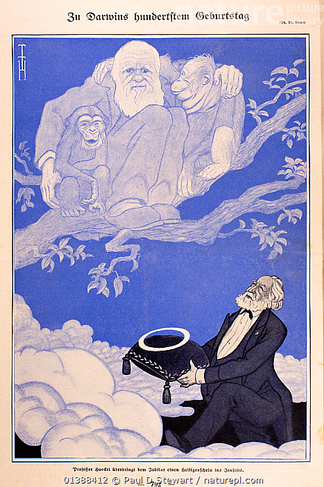 1909 'On Darwin's hundredth Birthday' Illustration of Charles Darwin in heavenly tree with young chimpanzee (left) and orangutan (right). Chromolithograph by the German artist Thomas Theodor Heine in the German periodical 'Simplicissimus' 15th February 1909. Below the tree, German biologist Ernst Haeckel offers Darwin a halo on the occasion of Darwin's birth centenary (it was also 50 years since publication of 'The Origin of Species' 1859). Darwin had died in 1882.  ,  19TH CENTURY,ANCESTOR,ANNIVERSARY,CARICATURE,CARTOON,CHARLES DARWIN,CHIMPANZEE,DESCENT,EVOLUTION,HAECKEL,HISTORIC,HISTORICAL,HISTORY,HUMAN,HUMOROUS,ILLUSTRATIONS,LIFE,MAN,MONKEY,ORANGUTAN,ORIGINS,SCIENCE,SCIENTISTS,TREE,VERTICAL,Concepts  ,  Paul D Stewart