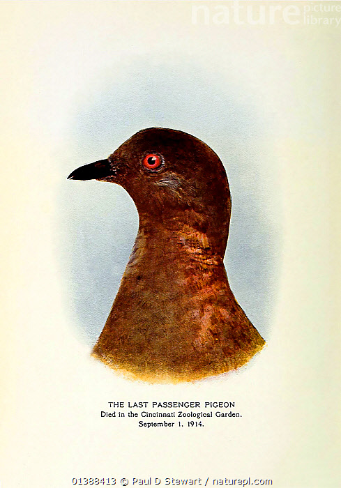 'Martha' the last passenger pigeon, (Ectopistes migratorius), who died Cincinnati Zoo, September 1st, 1914. This portrait of her published in March 1915 as the Frontispiece to William Hornaday's 'The Statement of the Permanent Wild Life Protection Fund' New York. The book was a pioneering self-published conservation document revealing the efforts to halt the further decline of birds in North America - which the passenger pigeon symbolised. The Book reveals The Fund's subscribers to include the car manufacturer Henry Ford and the photographic pioneer George Eastman. Hornaday was concerned by the threat of automatic weapons to birds. The passenger pigeon, which once numbered in the billions, had been wiped out by commercial collectors and hunters even before that time. Attempts to breed it in captivity proved that the birds needed the social facilitation of a large nesting colony to breed.  ,  BIRDS,BREEDING,COLUMBIFORMES,CONSERVATION,DOVES,ECTOPISTES,ENDANGERED,EXTINCT,FLOCK,HUNTING,ILLUSTRATIONS,PIGEONS,PORTRAITS,VERTEBRATES,VERTICAL,ZOO  ,  Paul D Stewart