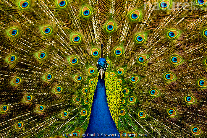 Male peacock (Pavo cristatus) displaying his ocellated tail feathers.  ,  19th century,BIRDS,BLUE,bright colour,catalogue5,charles darwin,CLOSE UPS,COLOURFUL,DISPLAY,front view,full frame,GALLIFORMES,GREEN,majestic,MALES,Nobody,ocellated,one animal,Peacock,pride,tail feather,VERTEBRATES,Communication  ,  Paul D Stewart