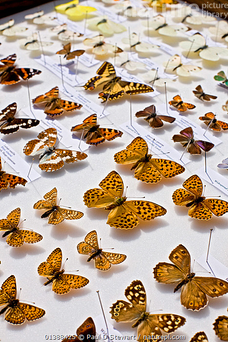 A collector's case of British butterflies with representatives of the major native groups (except skippers) visible. There are some 59 breeding butterflies in the UK and four former breeders.  ,  ARTHROPODS,BUTTERFLIES,COLLECTIONS,EUROPE,GROUPS,INSECTS,INVERTEBRATES,LEPIDOPTERA,MIXED SPECIES,MUSEUM,MUSEUMS,UK,United Kingdom  ,  Paul D Stewart