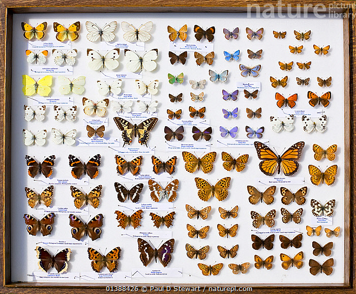 A collector's case of British butterflies. There are some 59 breeding butterflies in the UK and four former breeders, as well as rare migrants like the monarch all the way from America, represented here on the middle right.  ,  ARTHROPODS,BUTTERFLIES,COLLECTIONS,EUROPE,GROUPS,INSECTS,INVERTEBRATES,LEPIDOPTERA,MIXED SPECIES,MUSEUM,MUSEUMS,UK,United Kingdom,Catalogue5  ,  Paul D Stewart