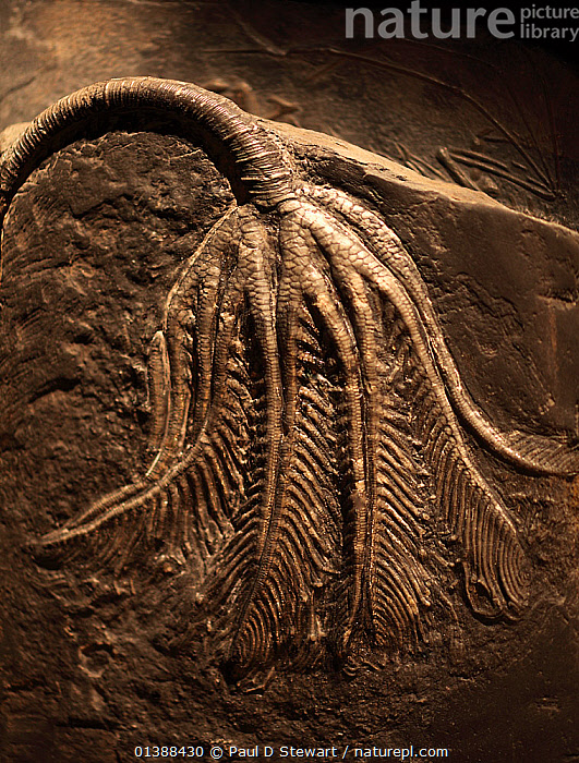 Fossil of Traumatocrinus hsui, a crinoid, Xiaowa formation, Guizhou, China. Calyx and arms about 20 cm. stem could reach over a meter. Late Triassic/early Jurassic. This type of pelagic crinoid attached itself to floating wood etc and trawled the ocean's surface waters.  ,  CHINA,CRINOIDEA,ECHINODERMS,FEATHER STARS,FOSSILS,GEOLOGY,INVERTEBRATES,JURASSIC,MARINE,ROCKS,TRIASSIC,Asia  ,  Paul D Stewart