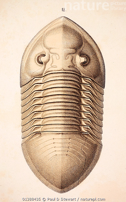 Trilobite (Asaphus platycephalus) from 'Organization of the Trilobites' by Hermann Burmeister, appearing in the Ray Society translation of his work published in 1846. The Illustrations and engravings by A. Andorff of Berlin were the finest and most accurate fossil representations of invertebrates up to that time. The work marked a more rigorous approach to the morphology of these groups and a move away from a purely stratiographical approach. The fine lithographic quality of the print owed much to the use of fine Solnhofen limestones that themselves preserved many fine fossils. Fossils such as Archaeopteryx were revealed during quarry work for the raw printing material.  ,  19TH CENTURY,ARTHROPODS,ENGRAVING,EXTINCT,FOSSILS,HISTORIC,HISTORICAL,HISTORY,ILLUSTRATION,ILLUSTRATIONS,INVERTEBRATES,LITHOGRAPH,ORDOVICIAN,TRILOBITE,TRILOBITES,VERTICAL,VICTORIAN  ,  Paul D Stewart