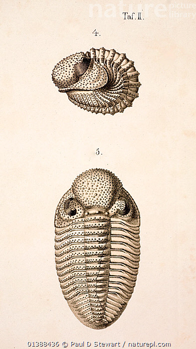 Illustration of Trilobite (Phacops latifrons) enrolled and open, from 'Organization of the Trilobites' by Hermann Burmeister, appearing in the Ray Society translation of his work published in 1846. The Illustrations and engravings by A. Andorff of Berlin were the finest and most accurate fossil representations of invertebrates up to that time. The work marked a more rigorous approach to the morphology of these groups and a move away from a purely stratiographical approach. The fine lithographic quality of the print owed much to the use of fine Solnhofen limestones that themselves preserved many fine fossils. Fossils such as Archaeopteryx were revealed during quarry work for the raw printing material.  ,  19TH CENTURY,ARTHROPODS,DEVONIAN,ENGRAVING,EXTINCT,FOSSILS,HISTORIC,HISTORICAL,HISTORY,ILLUSTRATIONS,LITHOGRAPH,MORPHOLOGY,PHACOPS,TRILOBITE,TRILOBITES,VERTICAL,VICTORIAN  ,  Paul D Stewart