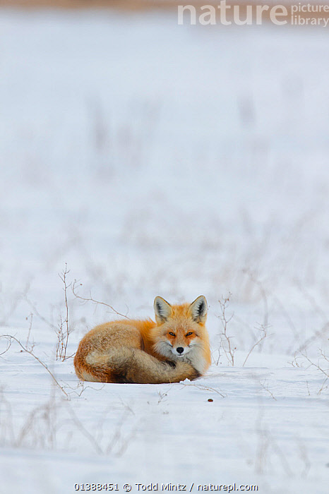 Red fox (Vulpes vulpes) resting on the Canadian prairie, Saskatchewan, Canada, February  ,  CANADA,CANADIAN,CANIDAE,CANIDS,CARNIVORES,COPYSPACE,CURLED,FOXES,MAMMALS,NORTH AMERICA,PORTRAITS,PRAIRIES,RED,RESTING,SASKATCHEWAN,SNOW,VERTEBRATES,VERTICAL,WINTER,Dogs  ,  Todd Mintz