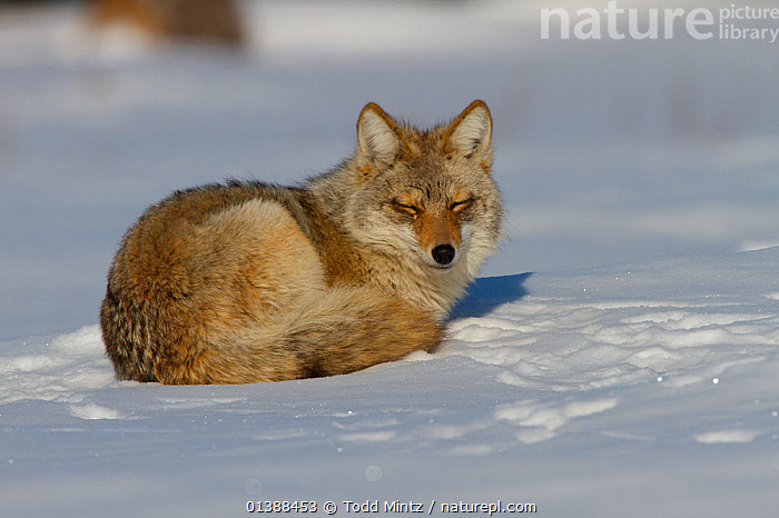 Coyote (Canis latrans) curled up on snow, resting on the Canadian prairie, Saskatchewan, Canada, February  ,  CANADA,CANIDAE,CANIDS,CARNIVORES,COYOTE,COYOTES,MAMMALS,NORTH AMERICA,PORTRAITS,PRAIRIES,RESTING,SASKATCHEWAN,SNOW,VERTEBRATES,WINTER  ,  Todd Mintz