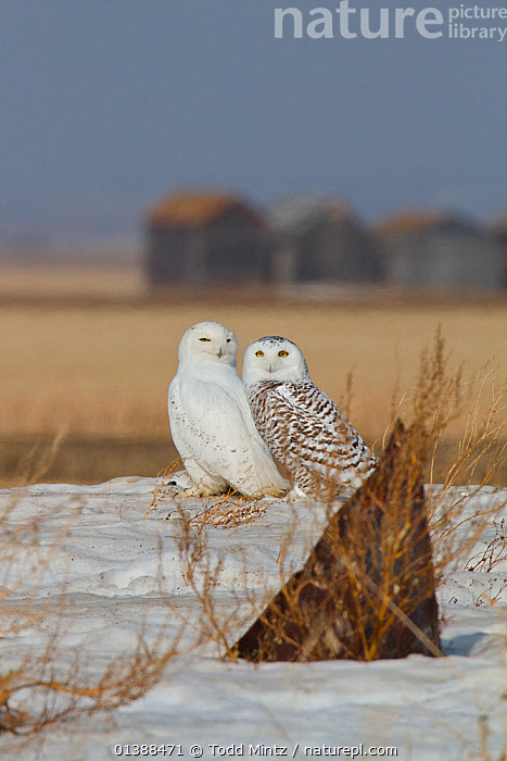 Snowy owl (Bubo scandiaca) male and female pair resting on northern migration across Canadian prairie, Saskatchewan, Canada, March  ,  ALERT,BIRDS,BIRDS OF PREY,CANADA,FEMALES,MALE FEMALE PAIR,MALES,NORTH AMERICA,OWLS,PAIR,PRAIRIES,RESTING,SITTING,SNOW,TWO,VERTEBRATES,VERTICAL,WINTER,Raptor  ,  Todd Mintz