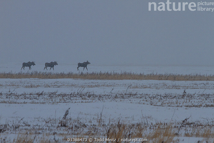 Three young male Moose (Alces alces) in snow storm on the Canadian prairie, Saskatchewan, Canada, November  ,  ARTIODACTYLA,CANADA,CERVIDAE,COLD,DEER,GROUPS,HAZY,HORIZON,IMMATURE,JUVENILE,LANDSCAPES,MALES,MAMMALS,NORTH AMERICA,PRAIRIES,SNOW,STORMS,THREE,VERTEBRATES,WEATHER,WINTER,YOUNG  ,  Todd Mintz