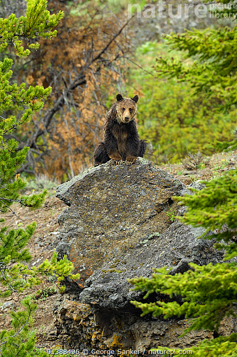 Grizzly bear (Ursus arctos horribilis) sitting on rock, looking down, Yellowstone NP, Wyoming, USA, May  ,  BEARS,BROWN BEAR,CARNIVORES,LOW ANGLE SHOT,MAMMALS,NP,ROCKS,ROCKY MOUNTAINS,URSIDAE,USA,VERTEBRATES,VERTICAL,WOODLANDS,National Park,North America  ,  George Sanker