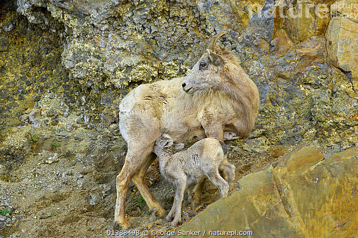 Bighorn sheep (Ovis canadensis) female and suckling young on mountain ledge, Yellowstone NP, Montana, USA, June  ,  ARTIODACTYLA,BOVIDAE,FAMILIES,MAMMALS,MOTHER BABY,MOUNTAINS,NP,ROCKS,ROCKY MOUNTAINS,SHEEP,SUCKLING,USA,VERTEBRATES,National Park,North America,Goats,Antelopes  ,  George Sanker