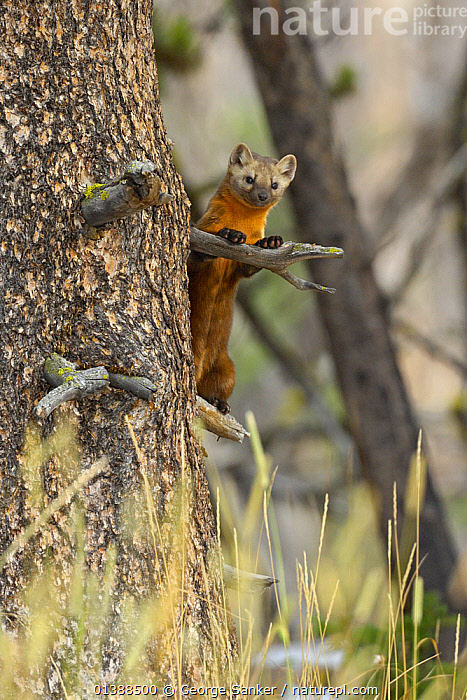 American pine marten (Martes americana) climbing tree, Yellowstone NP, Wyoming, USA, October  ,  CARNIVORES,CLIMBING,CONIFEROUS,LOOKING AT CAMERA,MAMMALS,MARTENS,MUSTELIDAE,MUSTELIDS,NP,ROCKY MOUNTAINS,TREES,USA,VERTEBRATES,VERTICAL,National Park,PLANTS,North America  ,  George Sanker