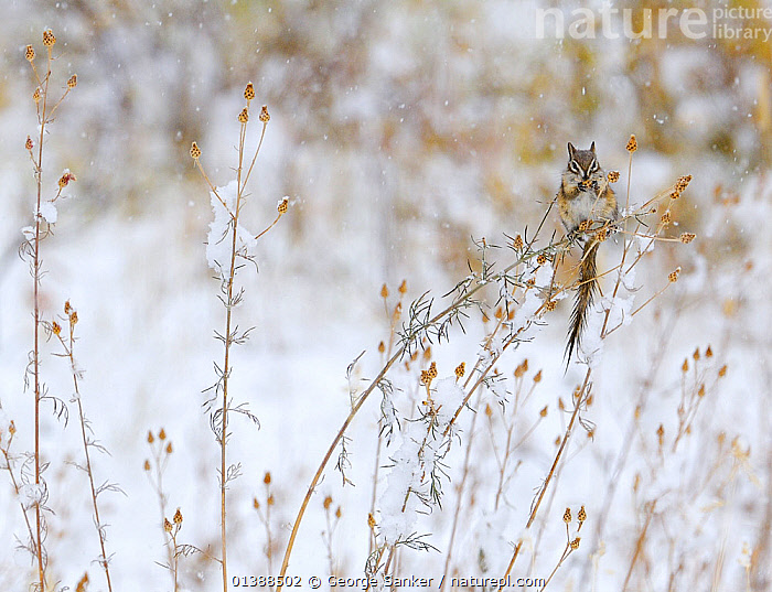 Least Chipmunk (Tamius minimus) feeding on the seeds of a thistle bush during a snowstorm, Grand Teton NP, Wyoming, USA, October  ,  BEHAVIOUR,CHIPMUNKS,COLD,EUTAMIAS,FEEDING,HUMOROUS,MAMMALS,MOUNTAINS,NP,ROCKY MOUNTAINS,RODENTS,SCIURIDAE,SEEDS,SNOW,SNOWING,USA,VERTEBRATES,WHITE,WINTER,Concepts,National Park,North America ,Rocky Mountains,  ,  George Sanker