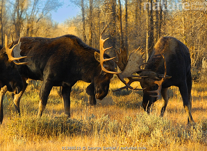 Moose (Alces Alces) males fighting, clashing antlers at rut, Grand Teton NP, Wyoming, USA, October  ,  AGGRESSION,ANTLERS,ARTIODACTYLA,CERVIDAE,DEER,DOMINANCE,FIGHTING,MALES,MAMMALS,MATING BEHAVIOUR,NP,ROCKY MOUNTAINS,USA,VERTEBRATES,National Park,North America ,Rocky Mountains,  ,  George Sanker