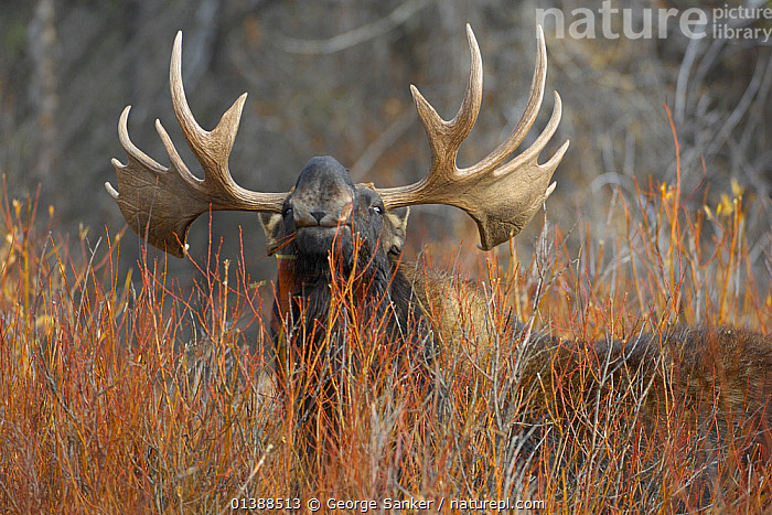 Moose (Alces alces) bull looking over vegetation, Grand Teton NP, Wyoming, USA, October  ,  ANTLERS,ARTIODACTYLA,CERVIDAE,DEER,EXPRESSIONS,LOOKING AT CAMERA,MAMMALS,NP,ROCKY MOUNTAINS,USA,VERTEBRATES,National Park,North America ,Rocky Mountains,  ,  George Sanker
