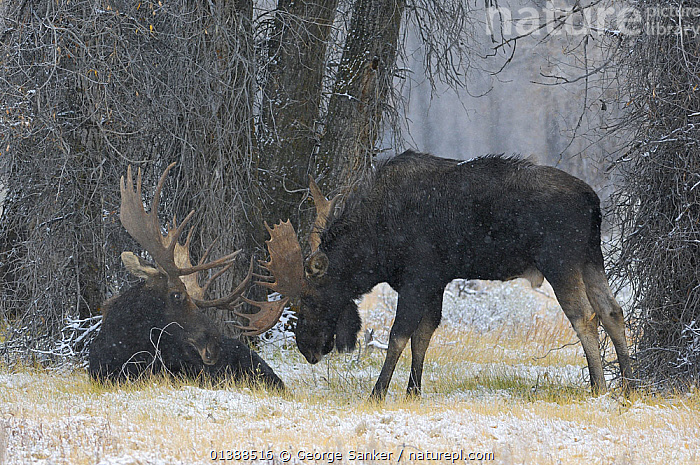 Moose (Alces alces) two bull moose, Grand Teton NP, Wyoming, USA, October  ,  ARTIODACTYLA,BEHAVIOUR,CERVIDAE,DEER,INTERACTION,MALES,MAMMALS,NP,ROCKY MOUNTAINS,TWO,USA,VERTEBRATES,National Park,North America ,Rocky Mountains,  ,  George Sanker