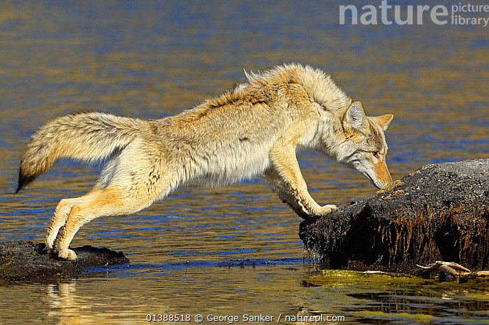 Coyote (Canis latrans) standing on rocks at water's edge, sniffing, Yellowstone NP, Wyoming, USA, October  ,  BEHAVIOUR,CANIDAE,CANIDS,CARNIVORES,COYOTES,MAMMALS,NP,PROFILE,RIVERS,ROCKY MOUNTAINS,SNIFFING,USA,VERTEBRATES,WATER,National Park,North America  ,  George Sanker