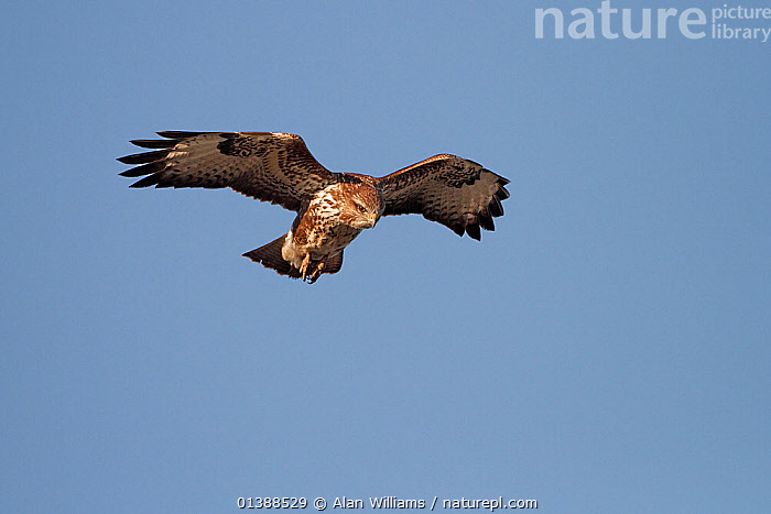 Common buzzard (Buteo buteo) hovering, searching for prey, Cheshire, UK, February.  ,  ACCIPITRIDAE,BIRDS,BIRDS OF PREY,BLUE,ENGLAND,EUROPE,FLYING,HAWKS,LOW ANGLE SHOT,PORTRAITS,PREDATION,SKY,UK,VERTEBRATES,Behaviour,United Kingdom  ,  Alan Williams