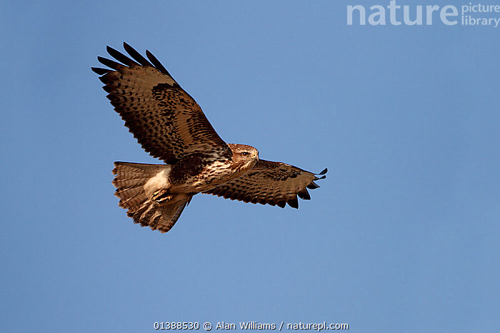 Common Buzzard (Buteo buteo) in flight, Cheshire UK, February.  ,  ACCIPITRIDAE,BIRDS,BIRDS OF PREY,BLUE,ENGLAND,EUROPE,FLYING,HAWKS,LOW ANGLE SHOT,PORTRAITS,PREDATION,SKY,UK,VERTEBRATES,Behaviour,United Kingdom  ,  Alan Williams