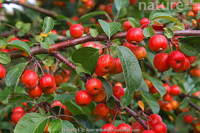 Crab apple (Malus sylvestris) fruits on tree grown at roadside in Cheshire village, UK, October.  ,  AUTUMN,CLOSE UPS,CULTIVATED,DICOTYLEDONS,EDIBLE,ENGLAND,EUROPE,FRUIT,GREEN,HARVESTING,PLANTS,RED,ROSACEAE,UK,United Kingdom  ,  Alan Williams