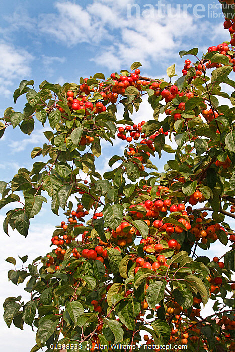 Crab apple (Malus sylvestris) fruits on tree grown at roadside in Cheshire village, UK, October.  ,  AUTUMN,CLOUDS,CULTIVATED,DICOTYLEDONS,EDIBLE,ENGLAND,EUROPE,FRUIT,GREEN,HARVESTING,PLANTS,RED,ROSACEAE,UK,VERTICAL,Weather,United Kingdom  ,  Alan Williams
