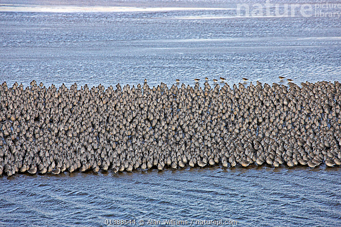 Knot (Calidris canutus) large flock walking on shore before rising tide, Liverpool Bay, UK, December.  ,  BIRDS,ENGLAND,EUROPE,FLOCKS,GROUPS,RED KNOT,SANDPIPERS,SCOLOPACIDAE,UK,VERTEBRATES,WADERS,WALKING,WATER,United Kingdom  ,  Alan Williams